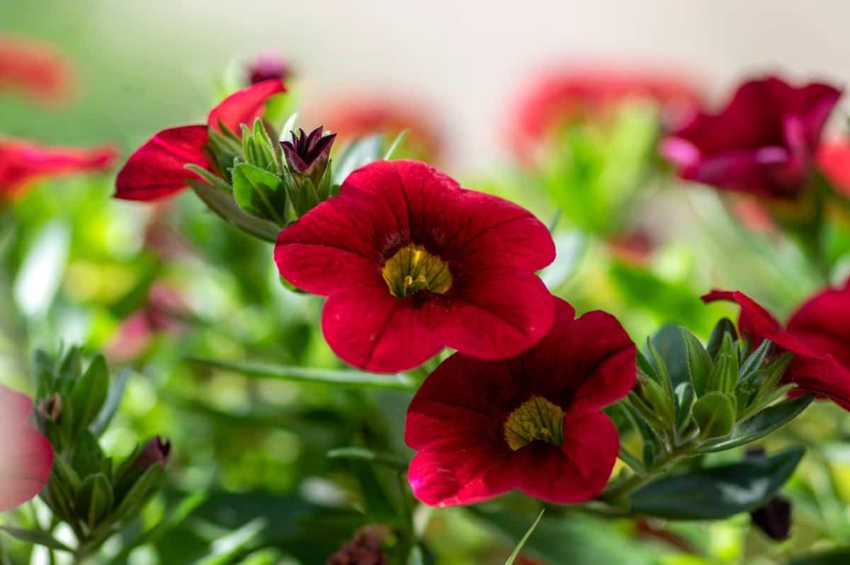 Calibrachoa resembles tiny petunias.