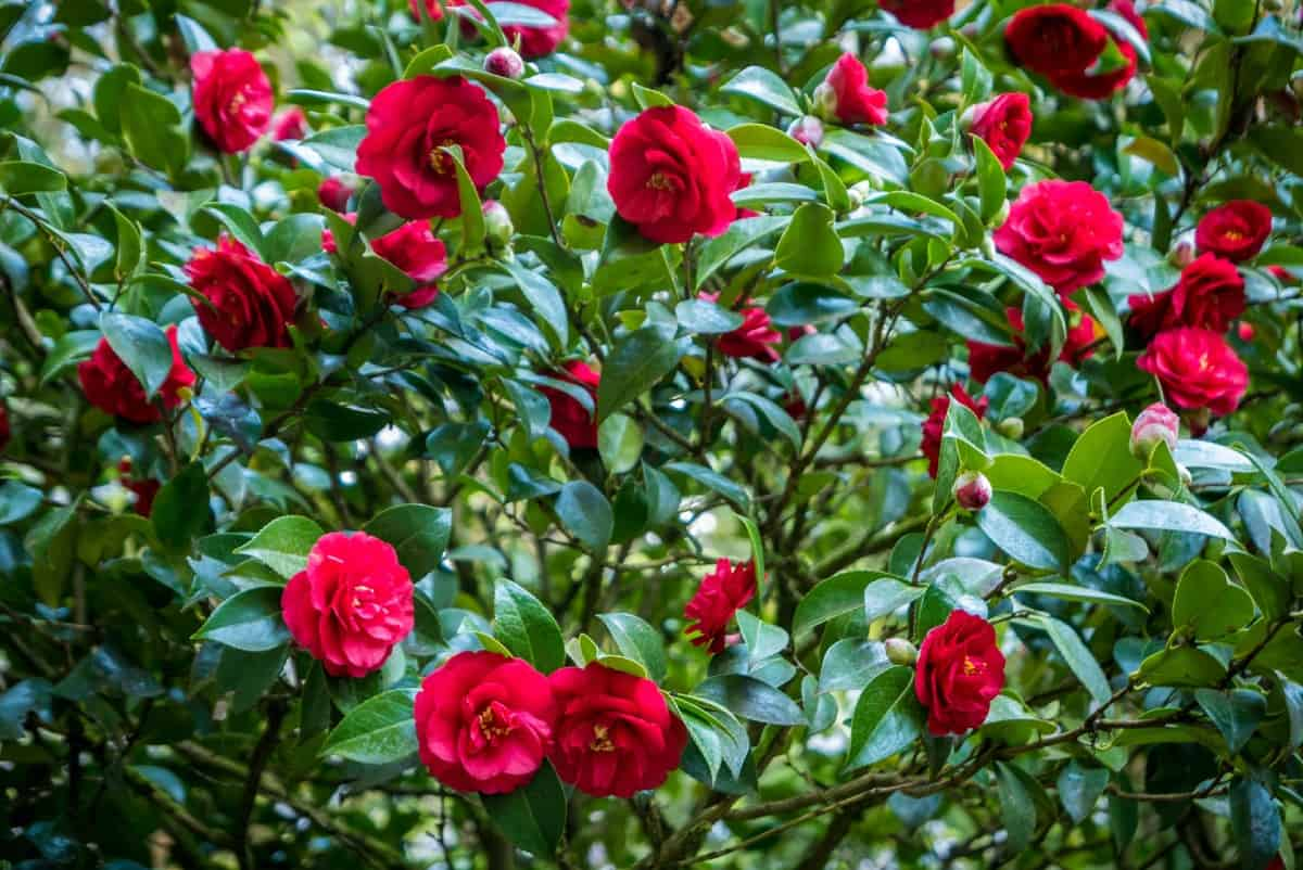 Camellias are shade shrubs that last a long time with proper care.