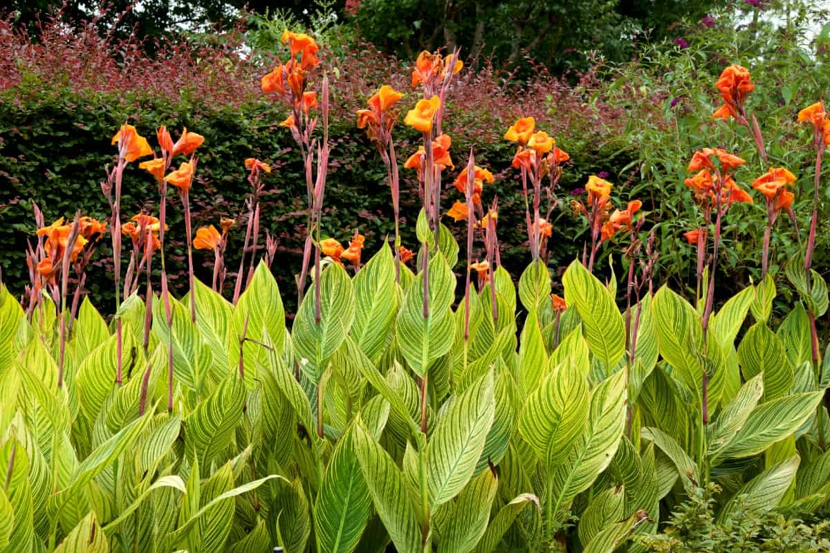 Canna lilies are fast-growing perennials.