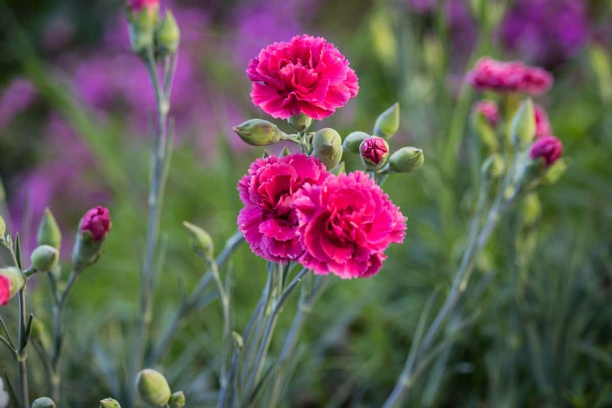 Carnations have a lovely scent.