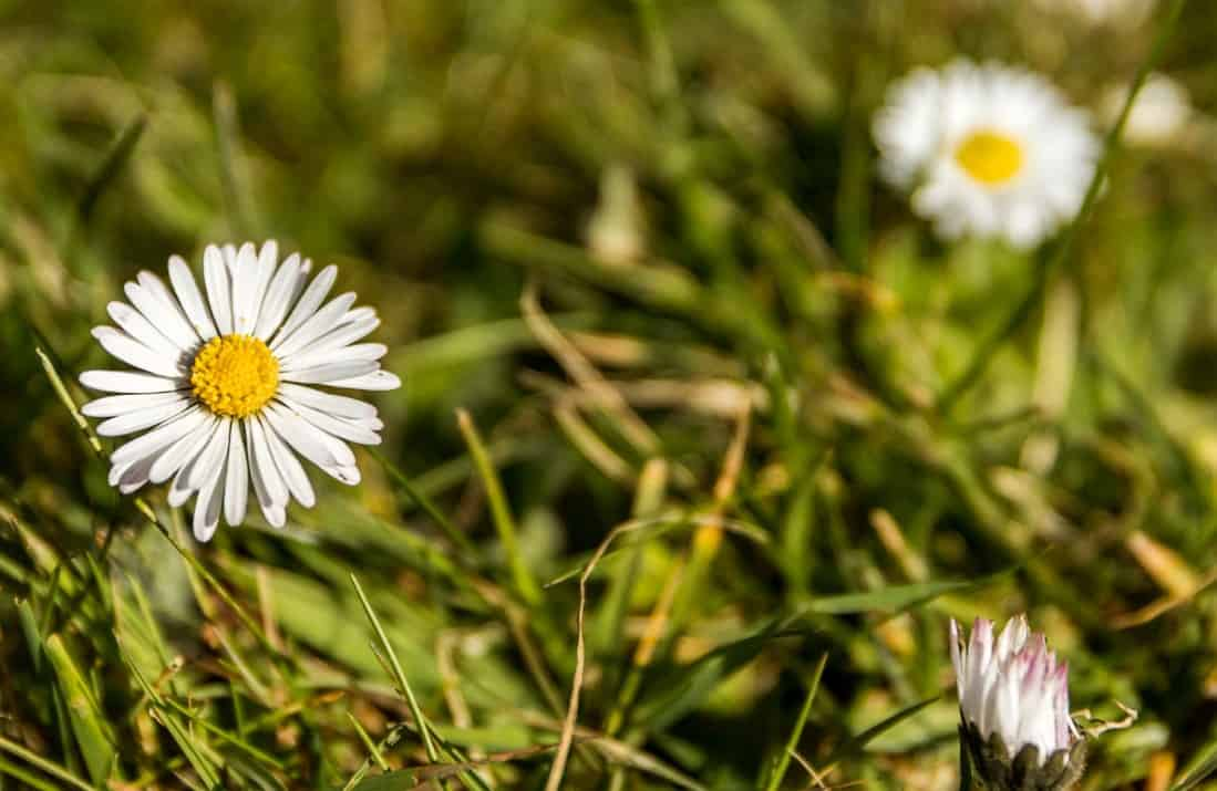 Chamomile is a popular low-growing evergreen perennial.