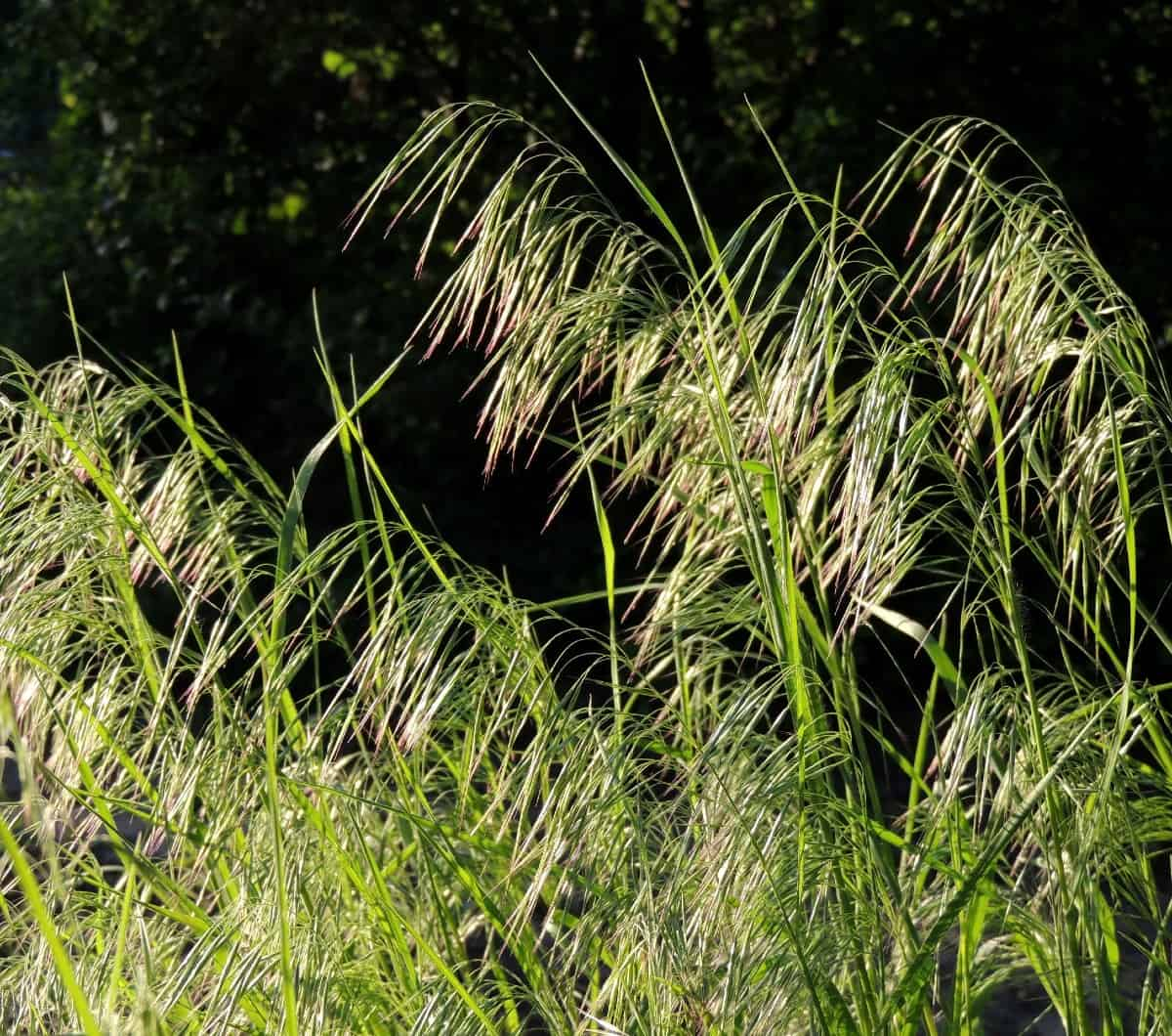Cheatgrass is an annual that has pretty flowers.