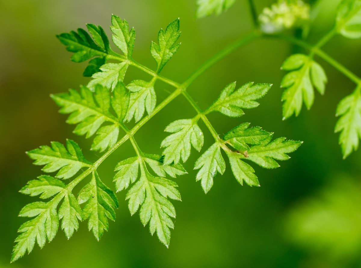 Chervil or French parsley is an herb to plant in the shade.