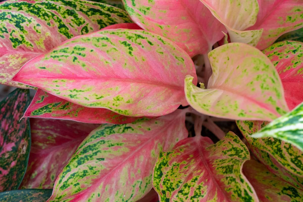 The Chinese evergreen makes a lovely houseplant.