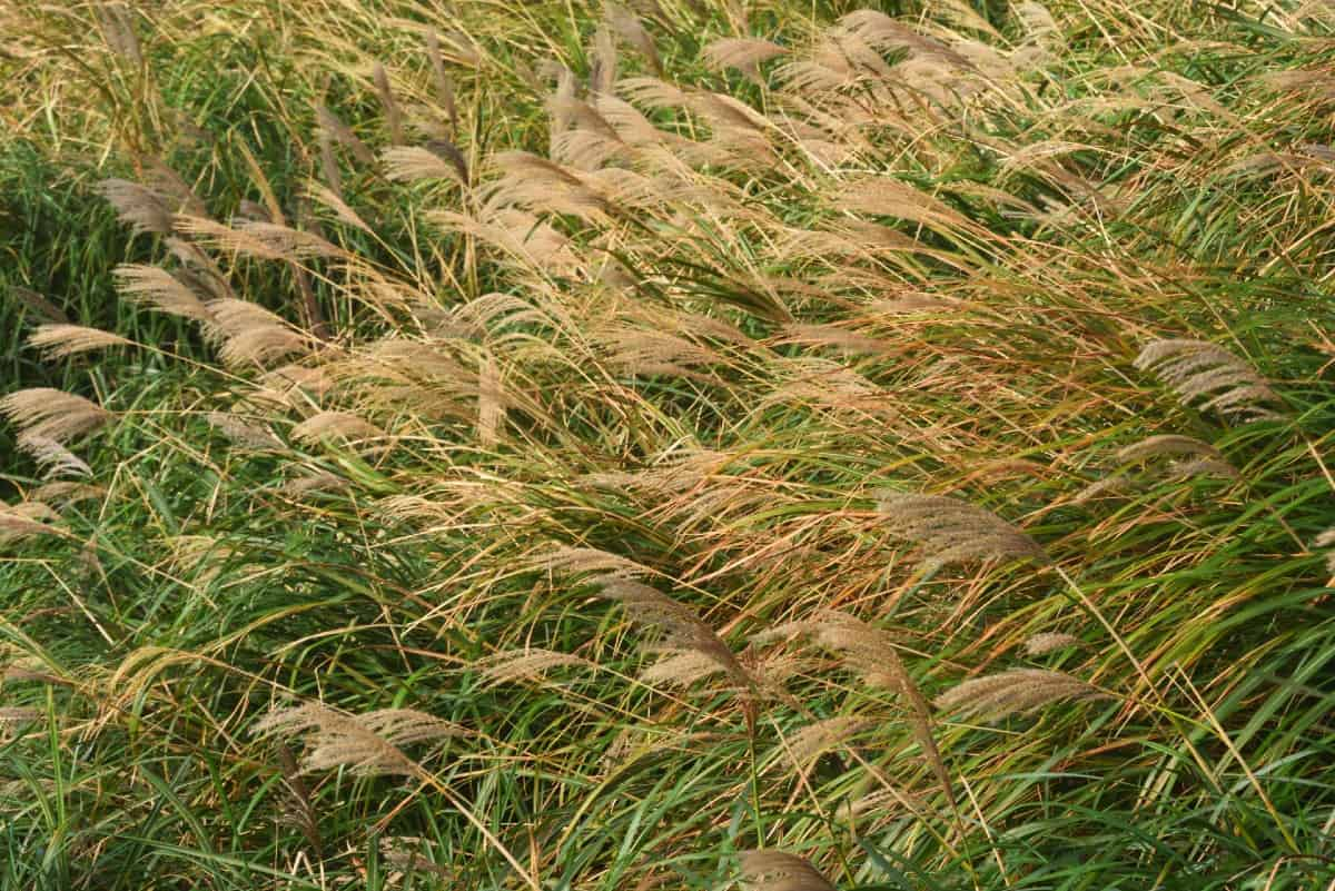 Chinese silvergrass is an aggressive ornamental.