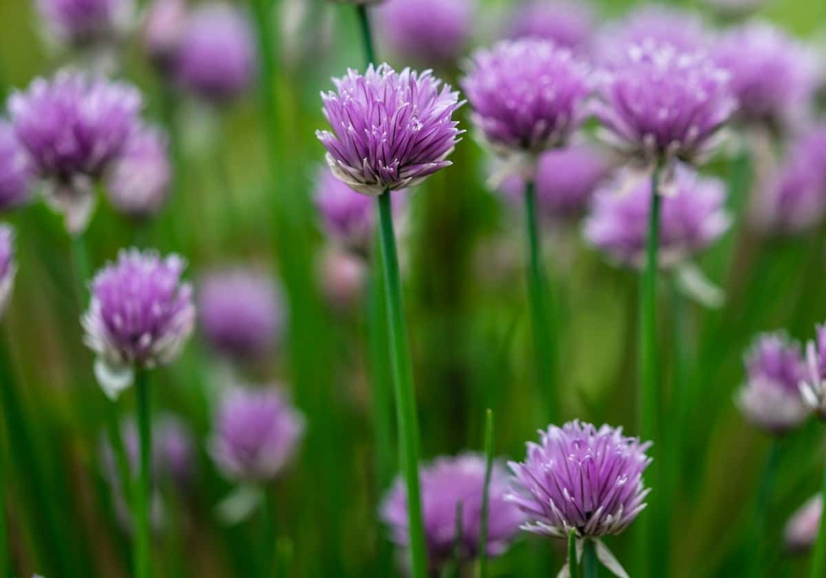 Chives are an herb that spreads quickly so container planting is ideal.