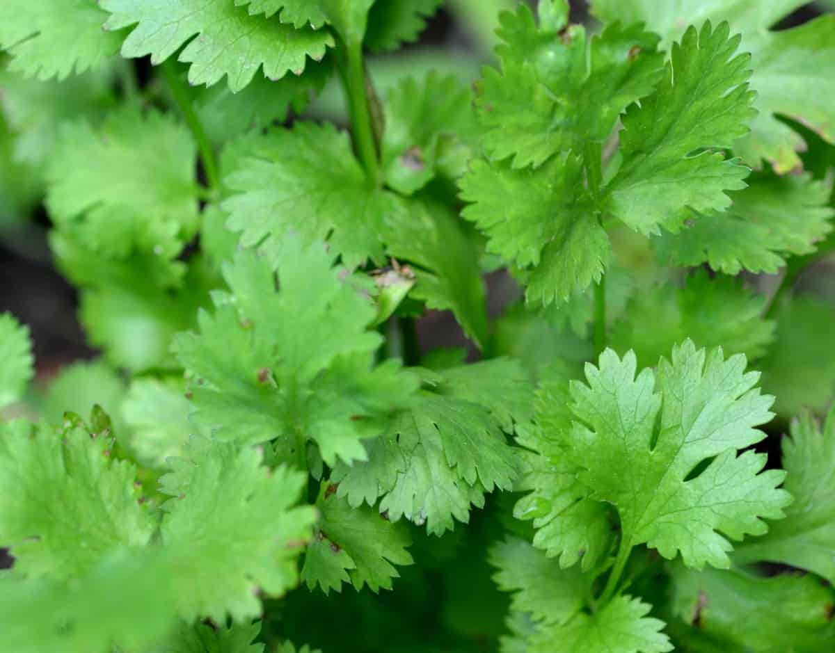 Cilantro is an herb with a citrusy flavor.
