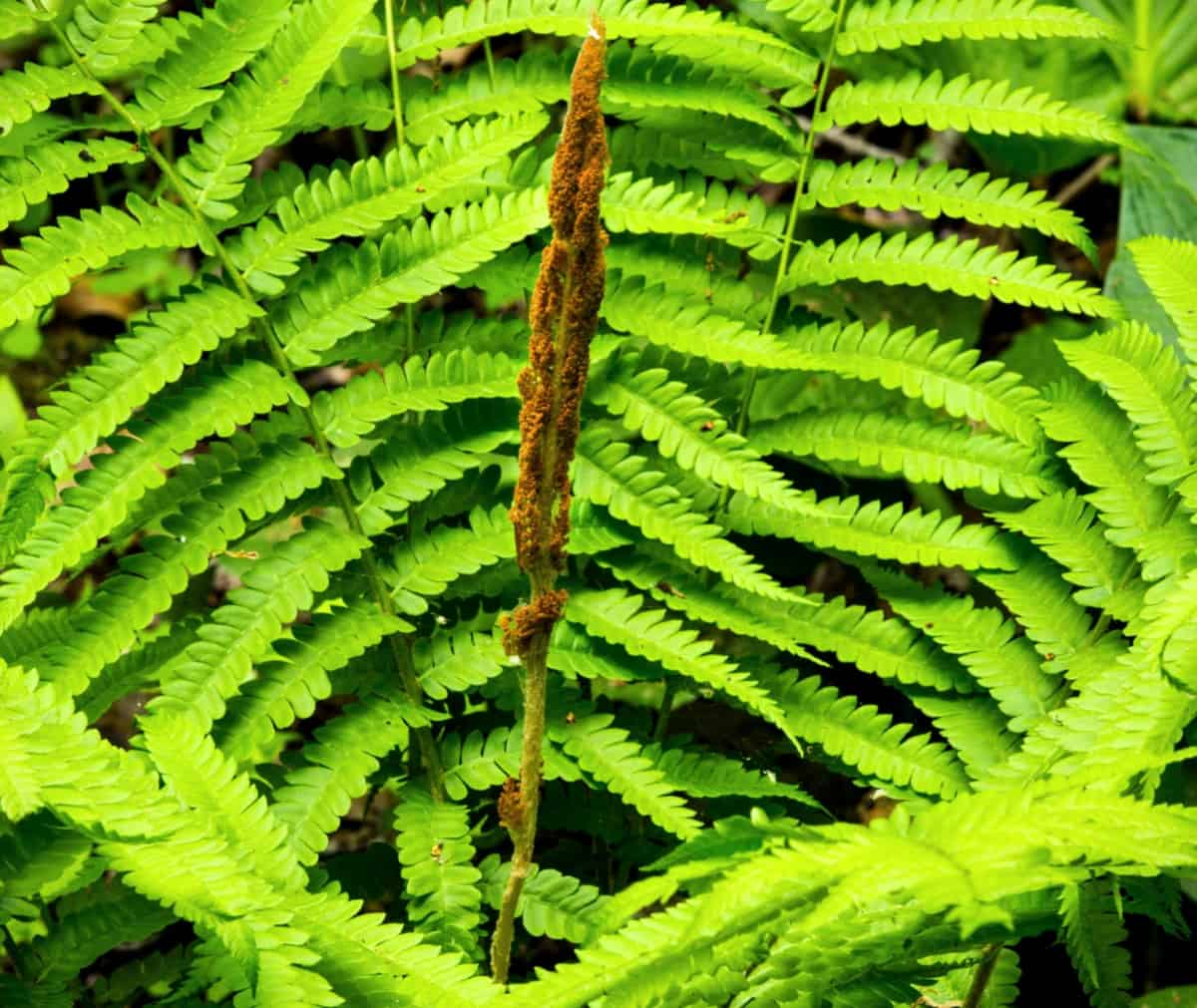 Cinnamon ferns grow in the shape of a vase.