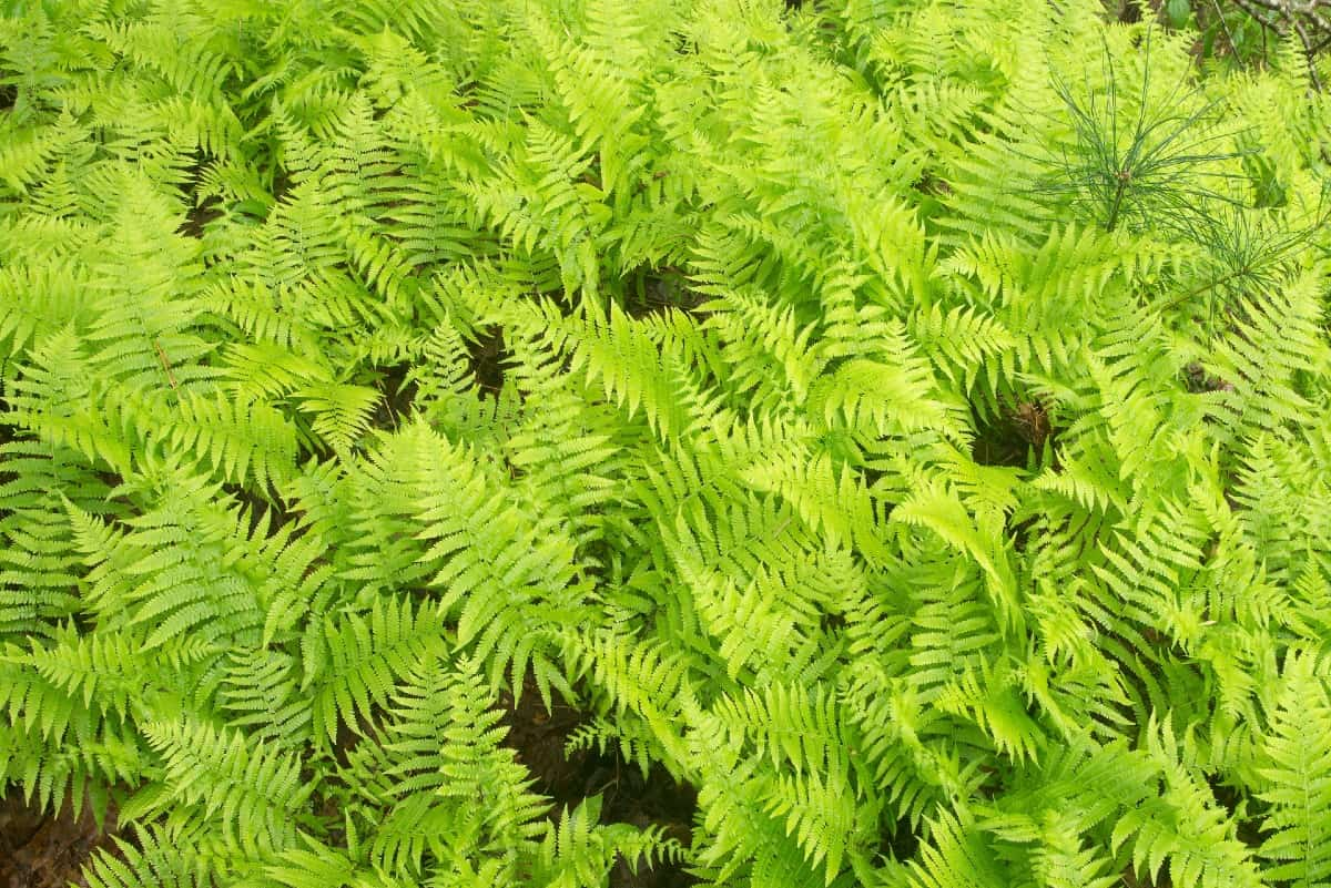 The clumping cinnamon fern tolerates partial sun well.