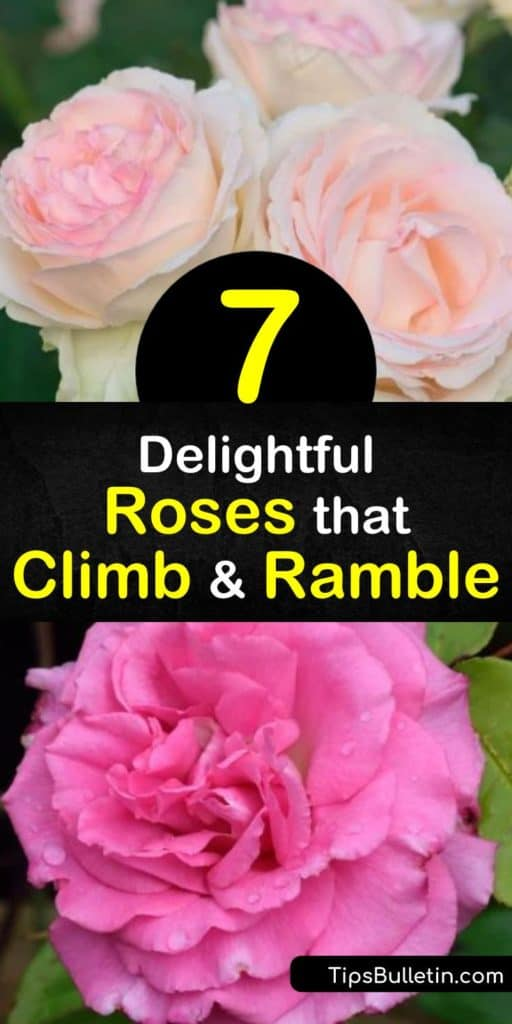 """Discover climbing roses that grace garden trellises without the diseases and hassle of shrub roses. Find roses that are appropriate for full sun and your hardiness zone. Plant red-and-white """"Fourth of July,"""" pink """"Zephirine Drouhin,"""" apricot """"Joseph's Coat,"""" and more. #roses #climbers #climbingroses"""