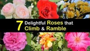 Climbing Roses titleimg1