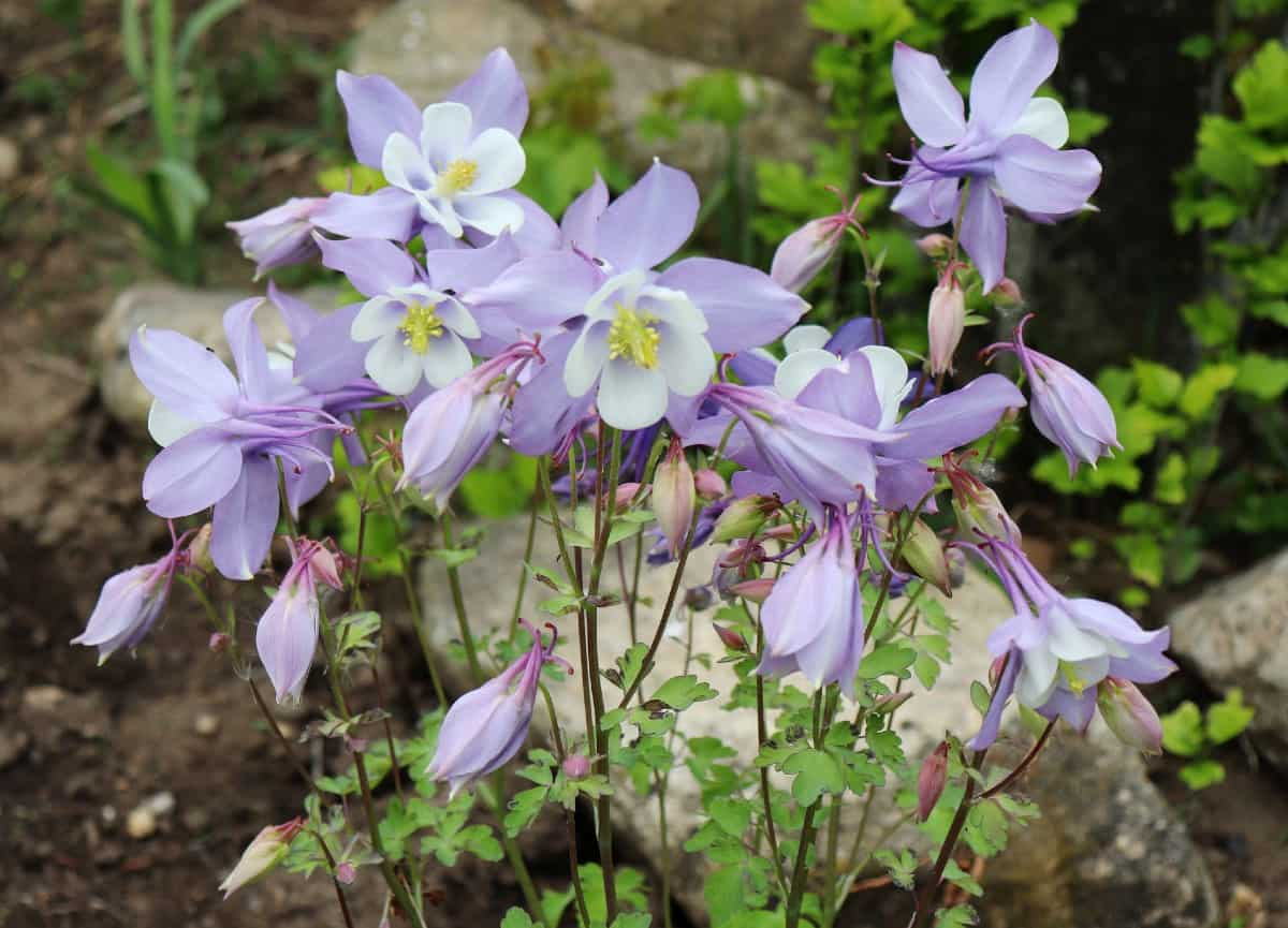 Grow columbine easily from seeds.