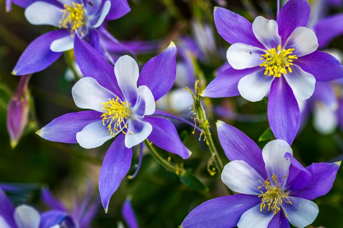 Columbine comes in a variety of colors and shapes.