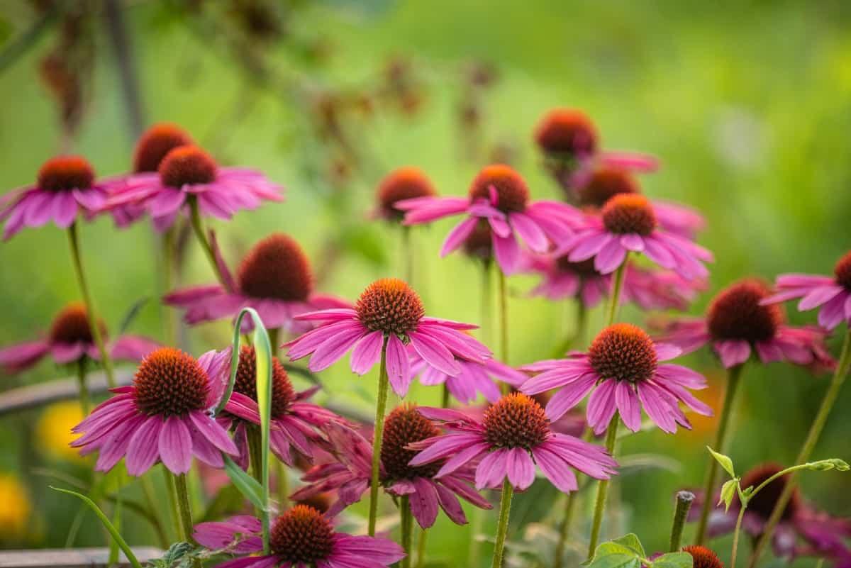 Coneflowers are tall, daisy-like plants.