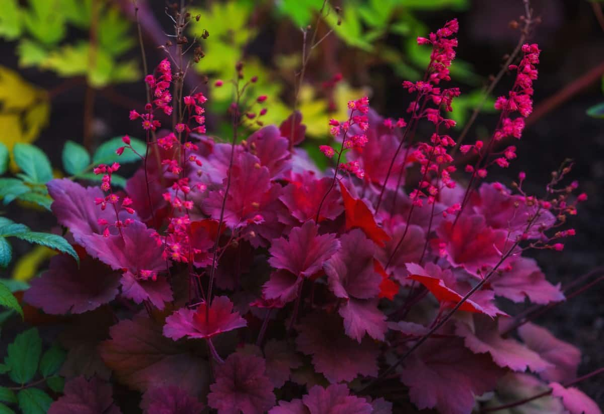 Coral bells is typically more known for its brightly colored foliage rather than its tiny flowers.