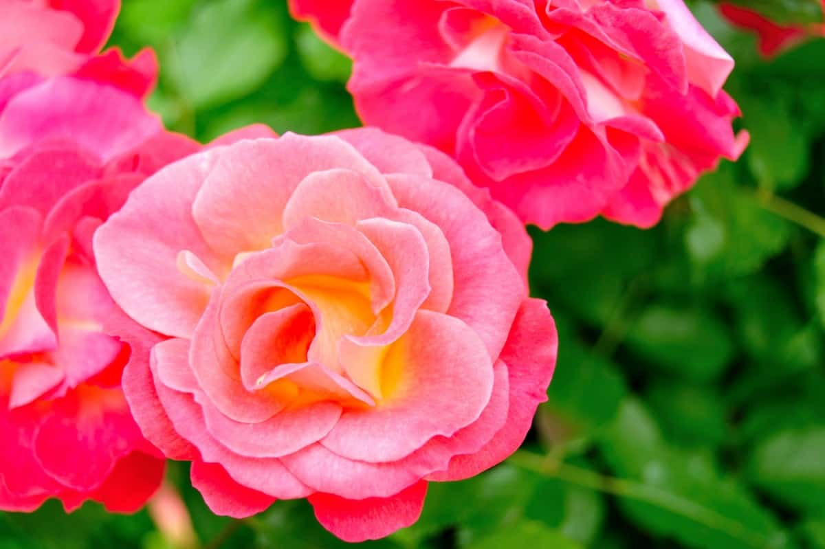 Coral Cove is a compact rose bush.