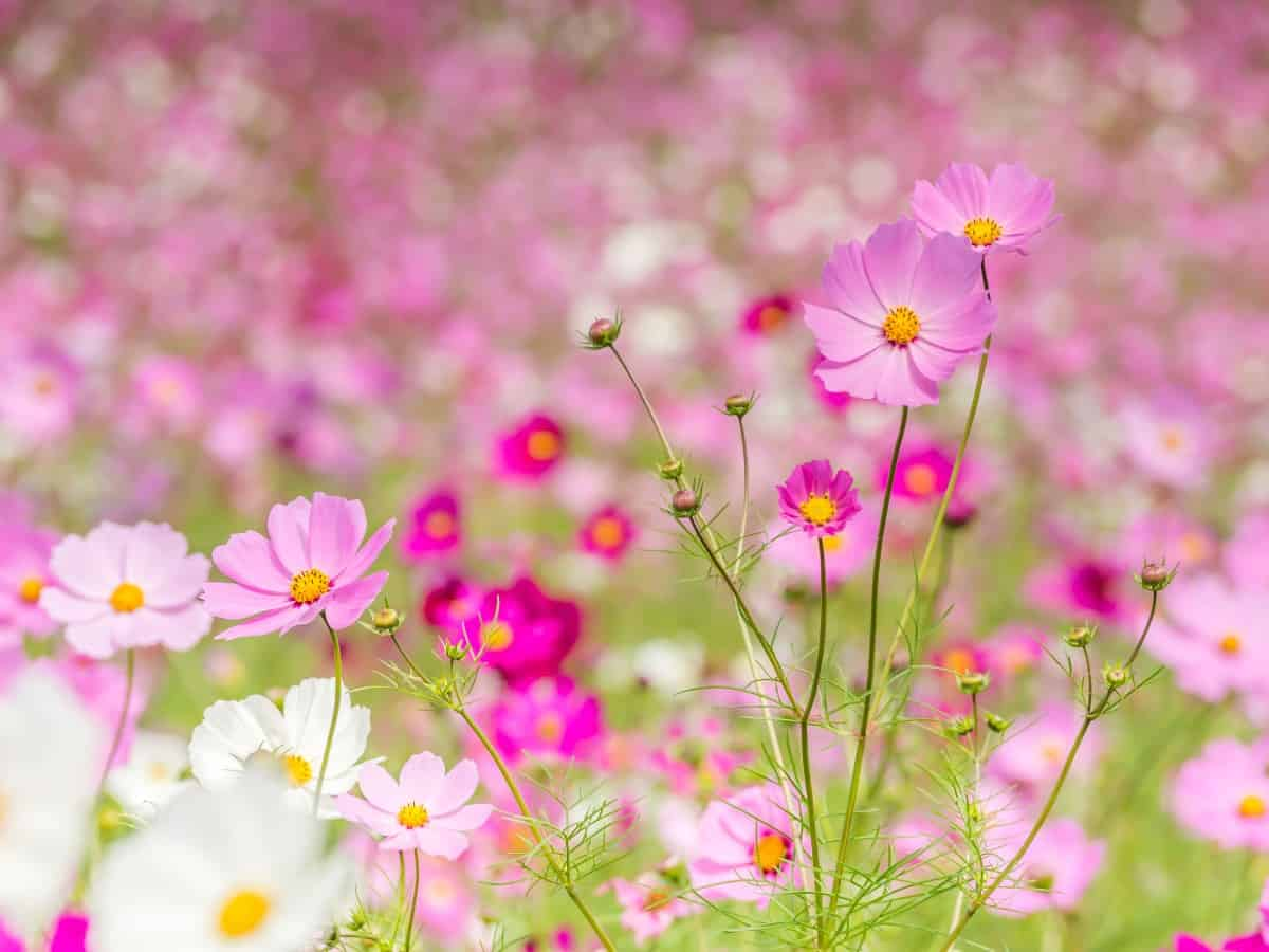 Cosmos is a pretty flower that blooms all summer.