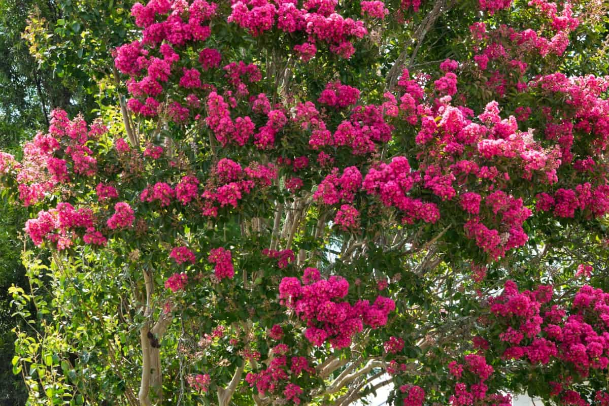 Birds and other pollinators love the crape myrtle.