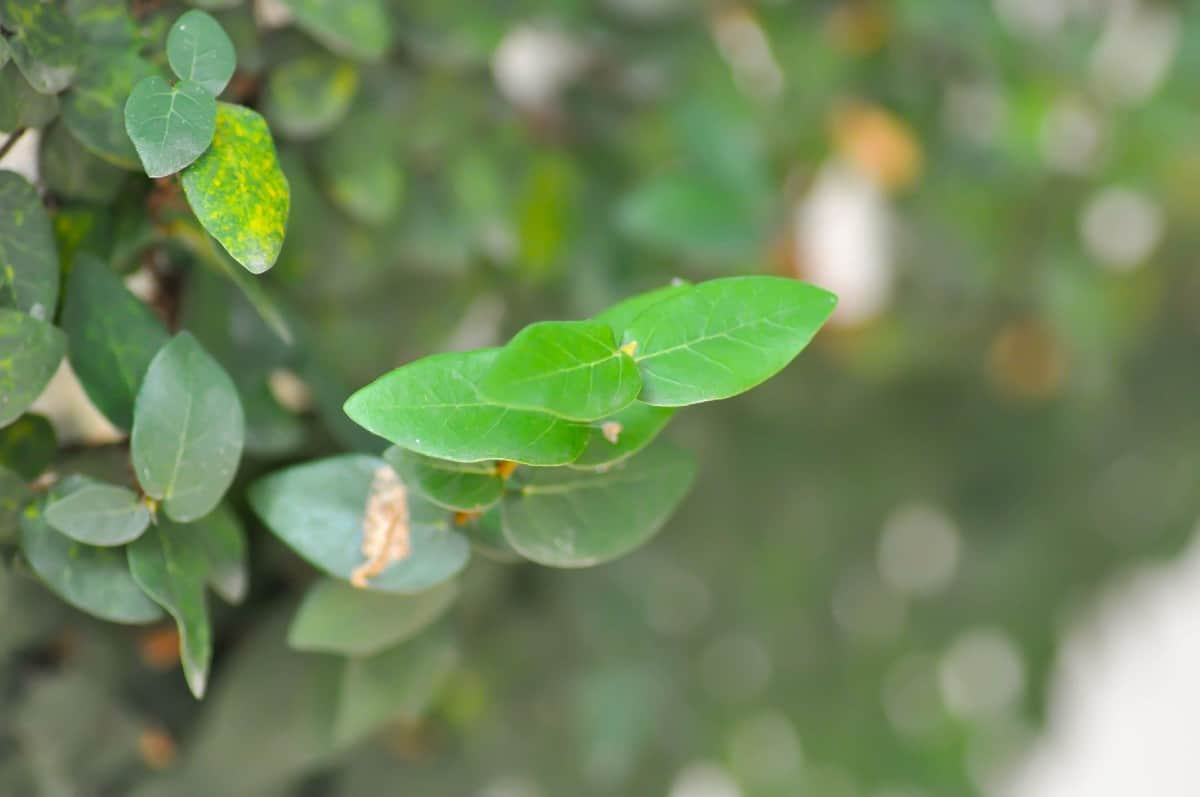 Creeping fig is a spreading vine in warm climates.