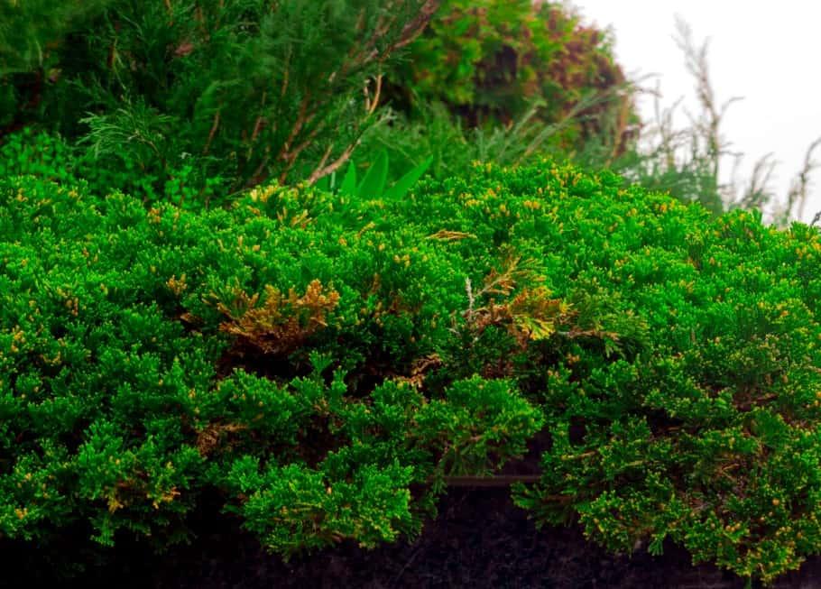 For a low maintenance beach plant, grow creeping juniper.