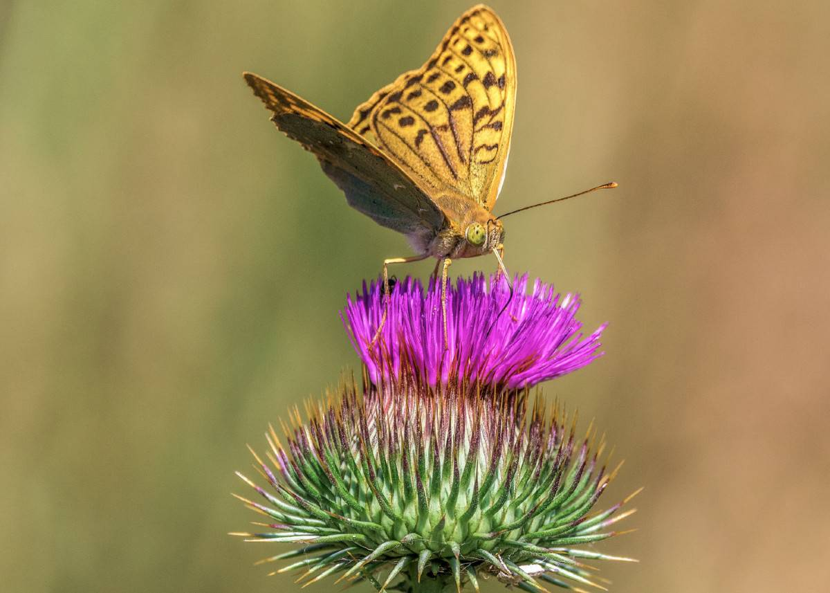Creeping thistle is highly invasive so be wary before adding it to the garden.