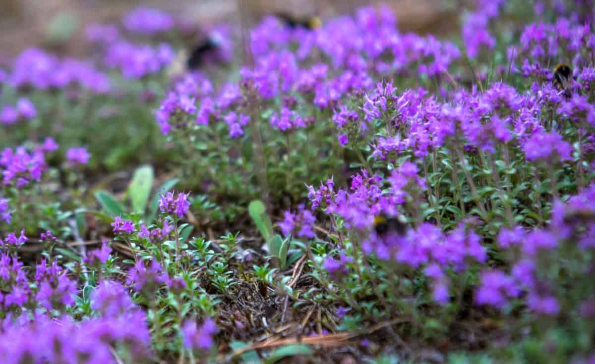 Creeping thyme is a hardy perennial with pretty flowers.