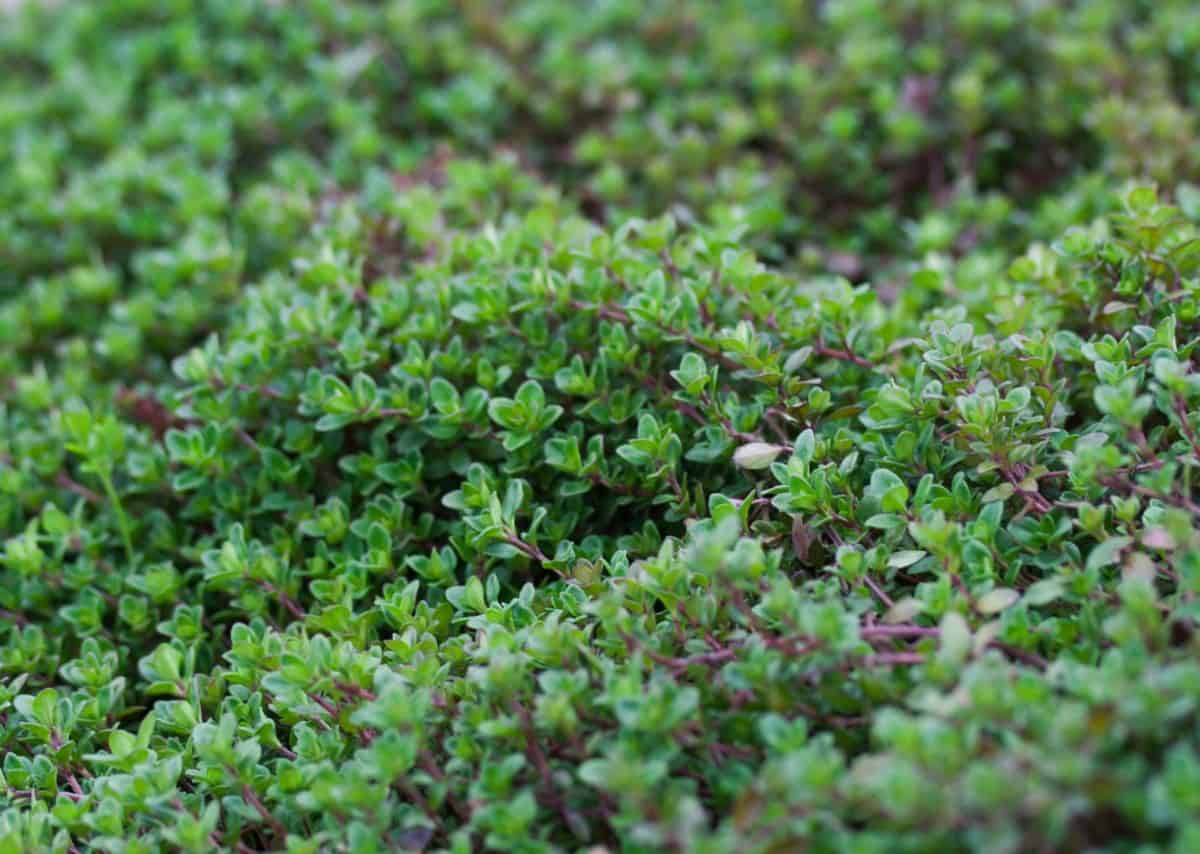 Creeping thyme is a dense perennial ground cover.