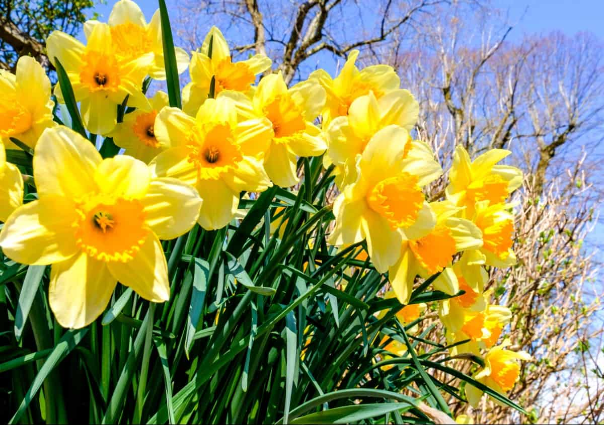 Daffodils are fragrant perennials that bloom in late winter.