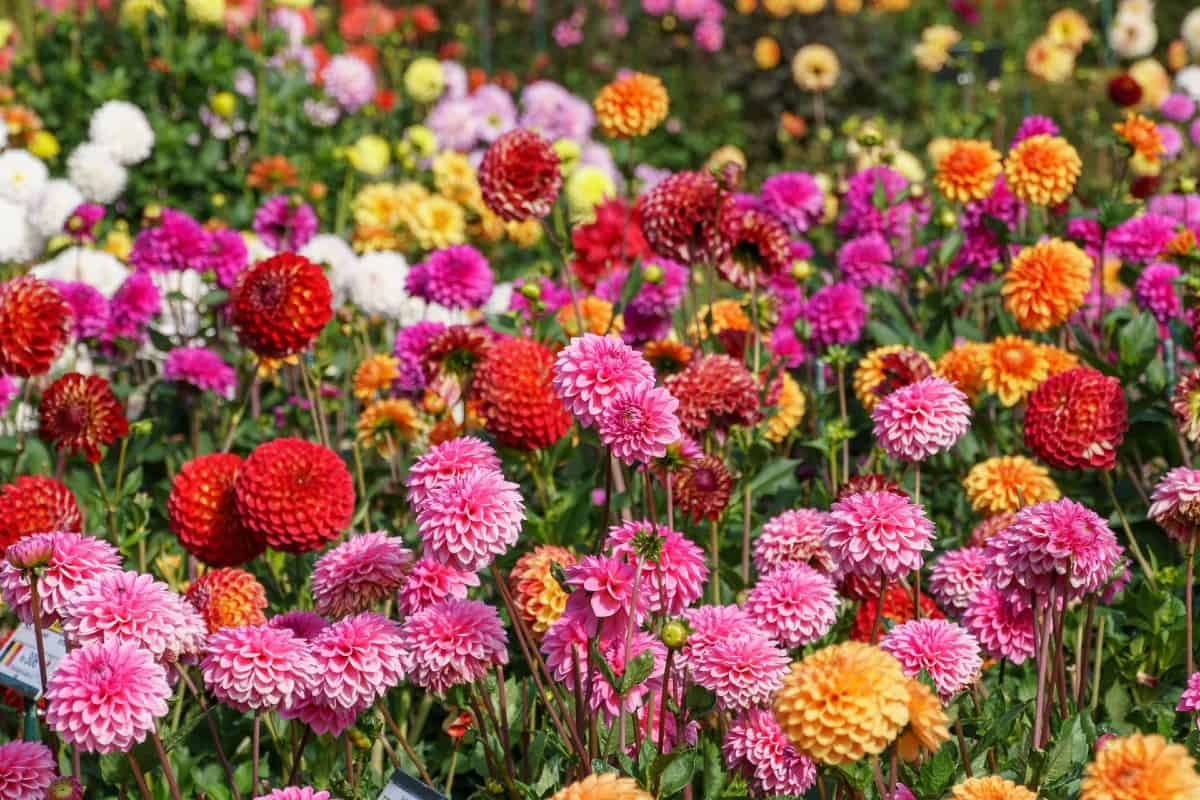 Dahlias are easy to grow and they come in a rainbow of different colors.