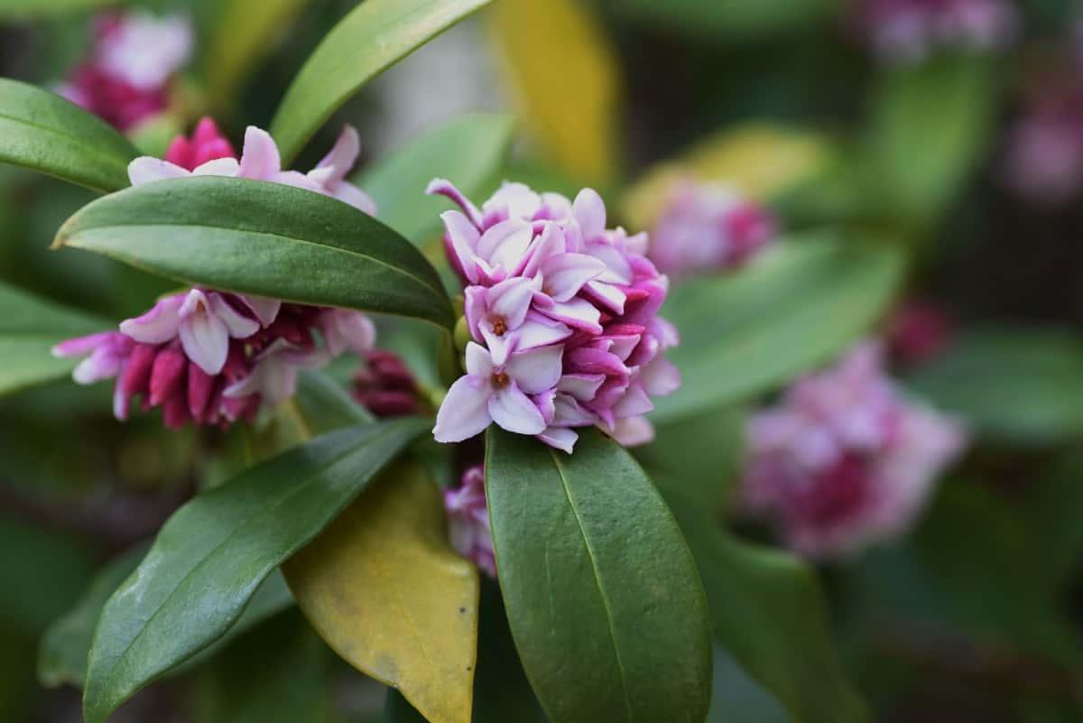 Daphne shrubs do well in partial shade.