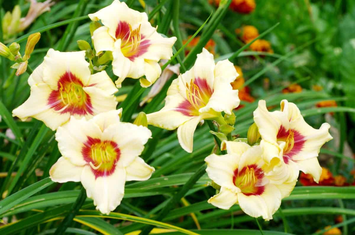 Daylilies are easy to grow and care for.