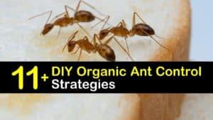 DIY Organic Ant Control titleimg1