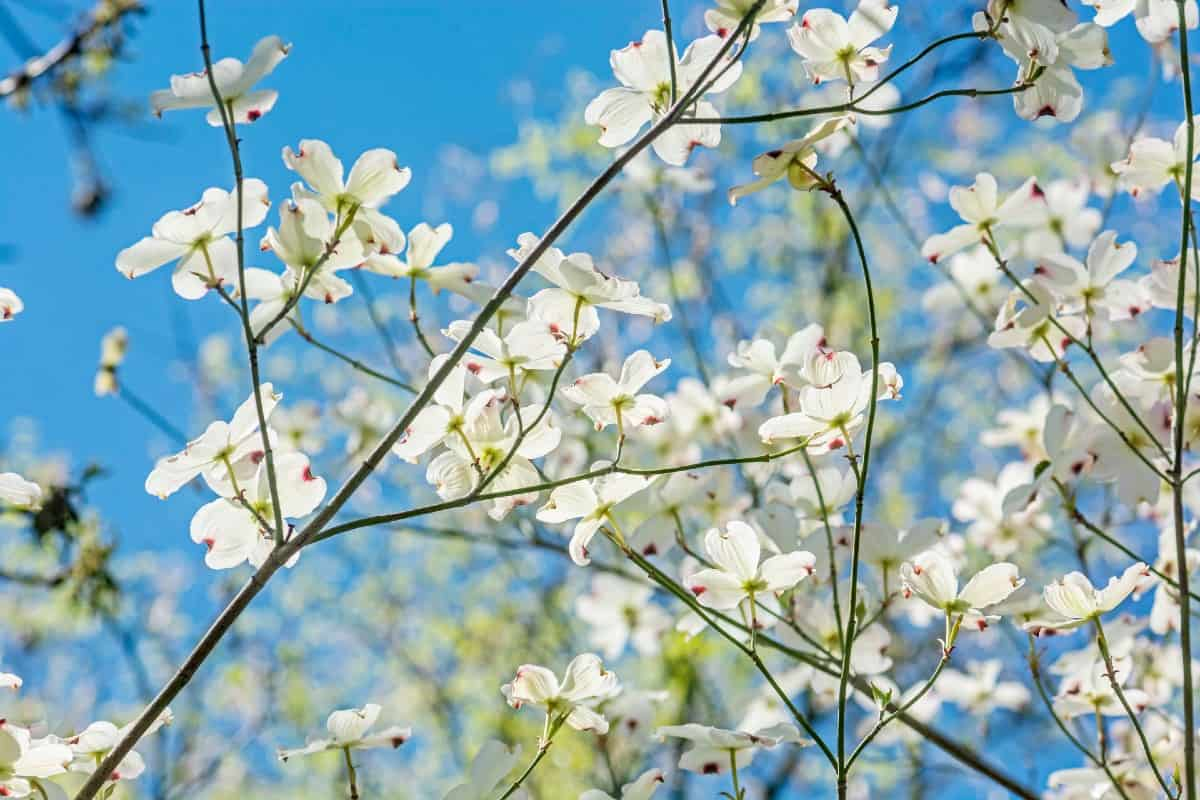 Dogwood blooms appear for two to four weeks in the spring.