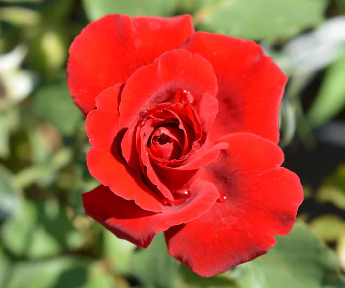 Don Juan red roses climb anything you give them.