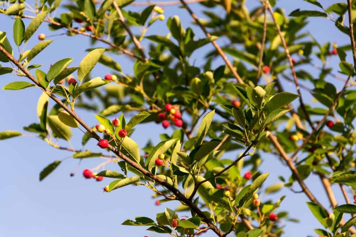 Downy serviceberry is a member of the shadbush family.