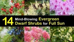 Dwarf Evergreen Shrubs for Full Sun titleimg1