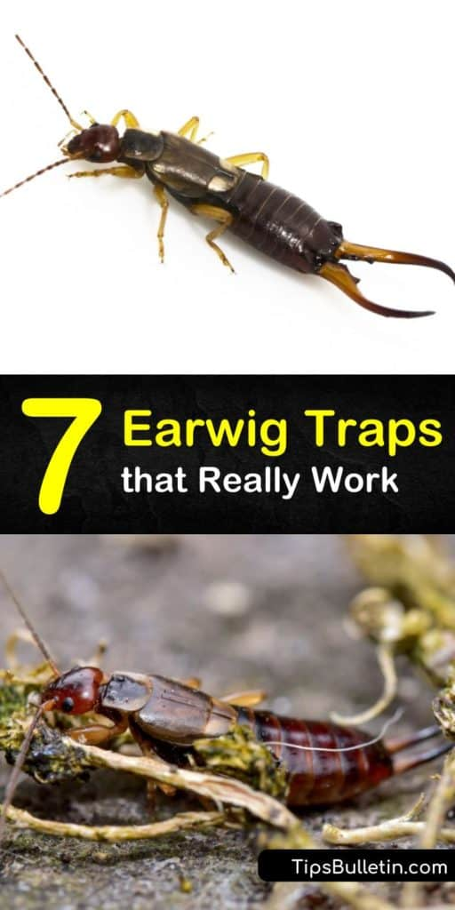Learn how to get rid of earwigs and other garden pests such as aphids with soy sauce or soapy water. Never deal with pincers in the mulch again when you kill earwigs and clear out an infestation. #earwigtraps #earwigs #traps #pestcontrol