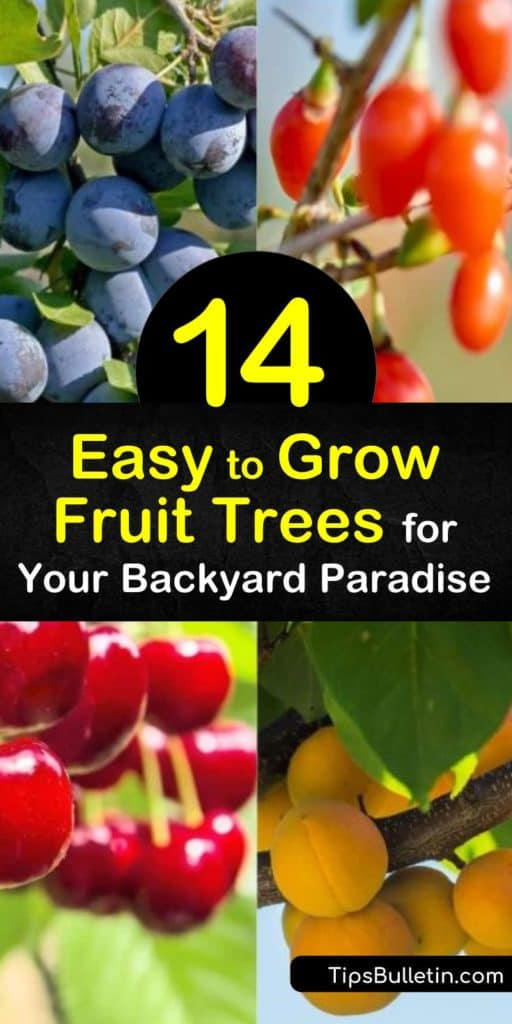 Plant easy to grow fruit trees like nectarines and blueberries for fresh, organic taste from home. Discover how long it takes for apricot and plum trees to bear fruit. Learn which trees benefit from organic mulch compost and which should prune back to promote new growth. #easy #grow #fruit #trees