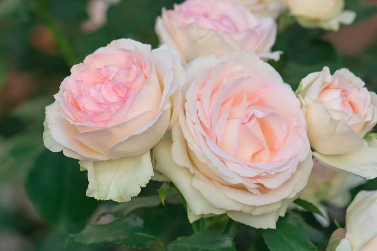 Eden roses need little water.