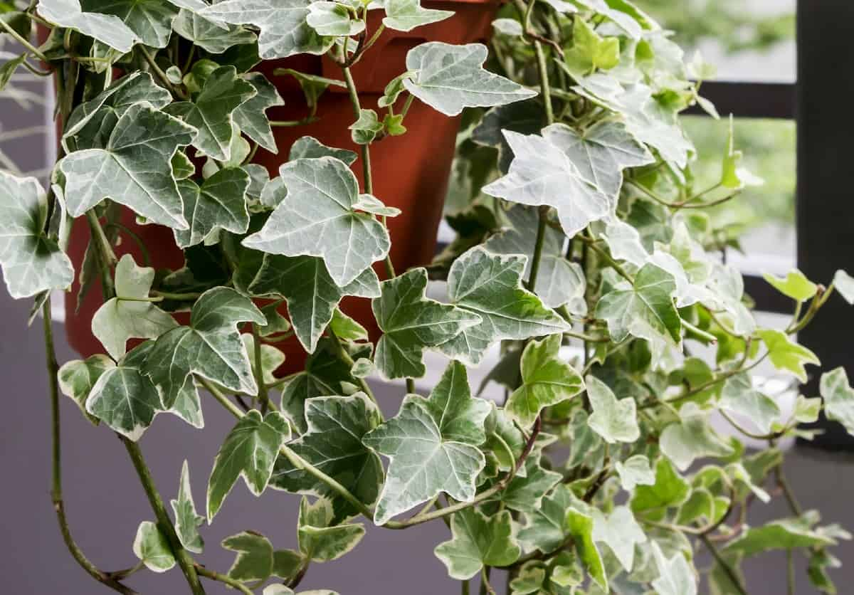 English ivy is a vine that spreads quickly.