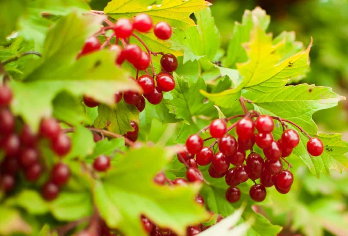 The European cranberry bush is a honeysuckle relative.