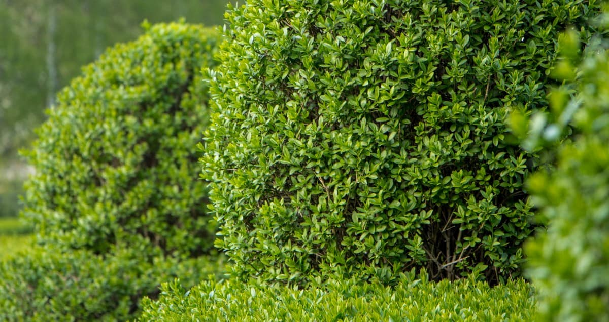 The reason that European privet is so invasive is that the birds spread the seeds everywhere.