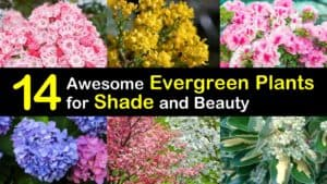 Evergreen Plants for Shade titleimg1