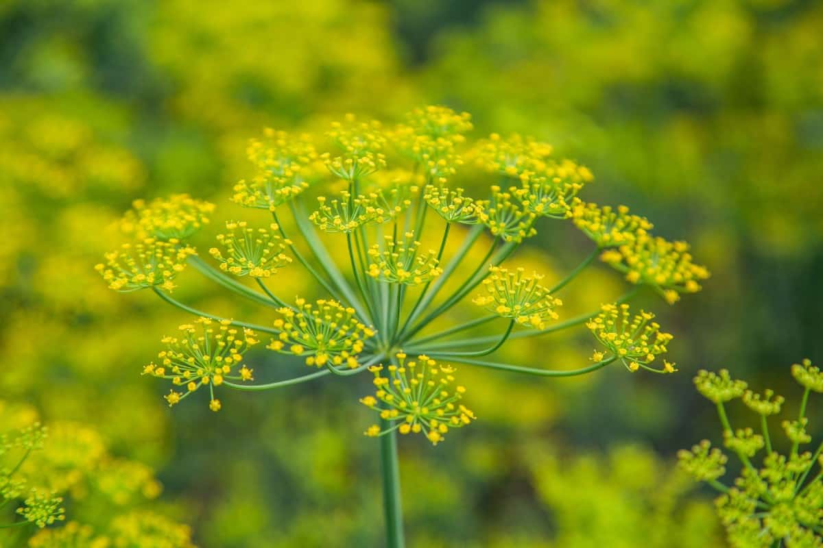 Fennel is a delicious herbaceous perennial plant.
