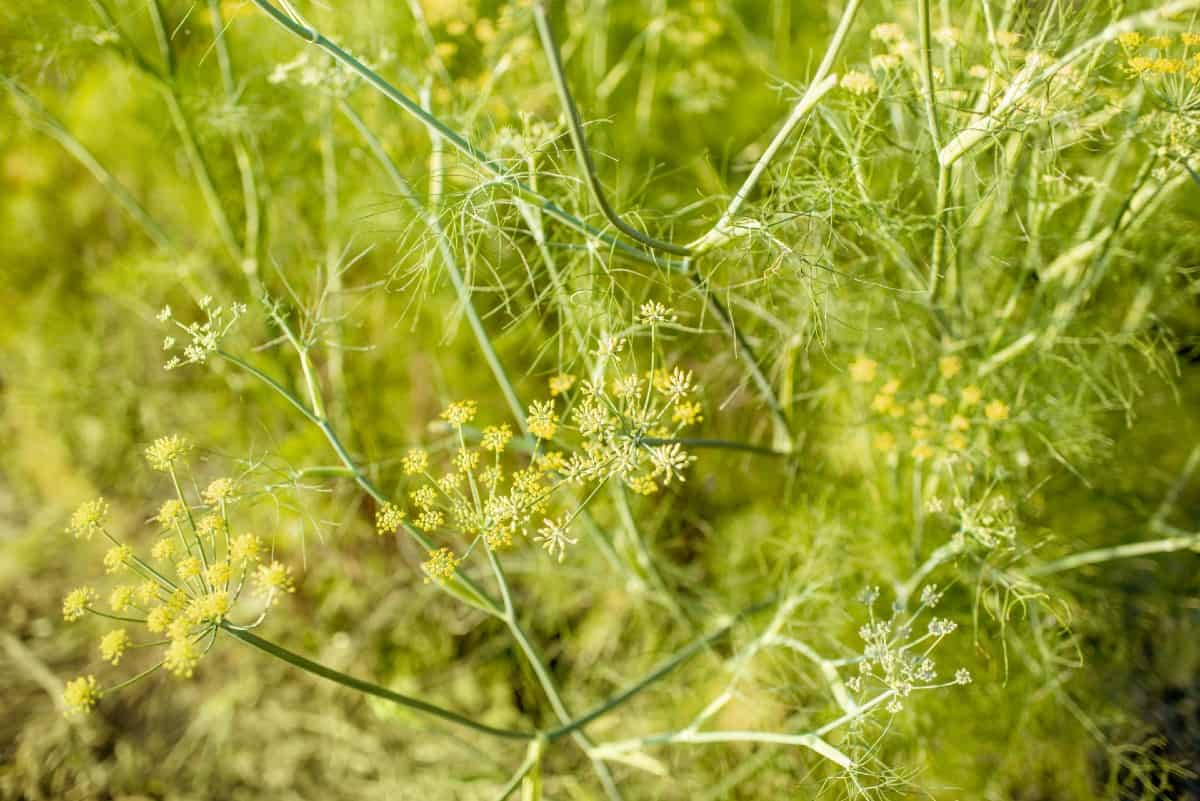 The roots and leaves of fennel are edible.