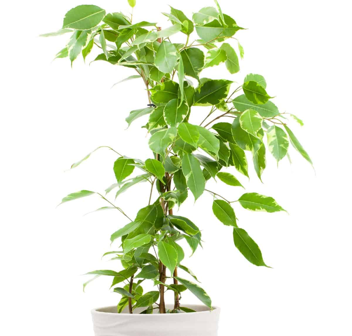Ficus is also known as a weeping fig tree.