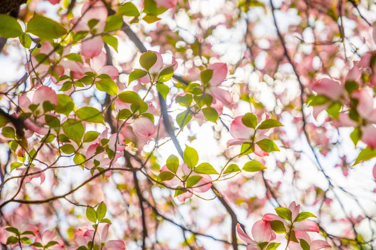 Flowering dogwood comes in tree and shrub varieties.