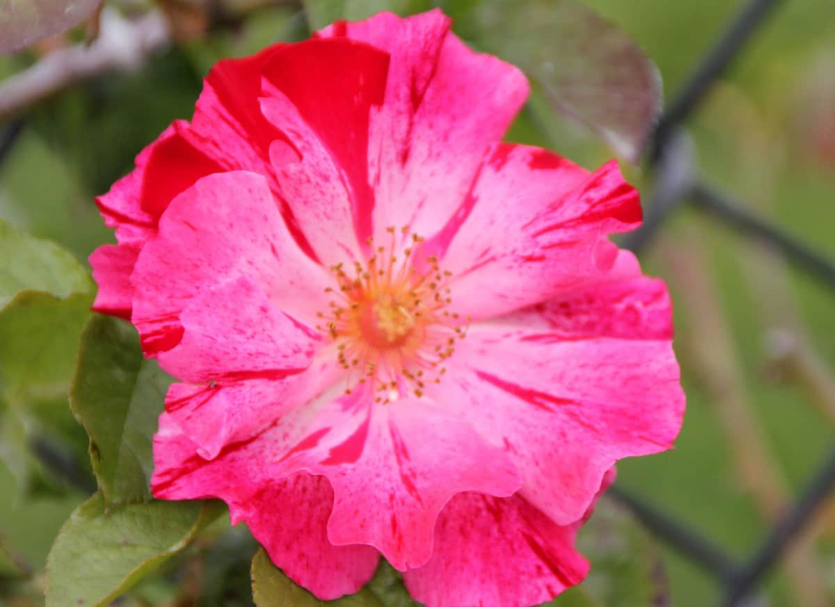 Plant Fourth of July climbing roses in well-drained soil in the sun.