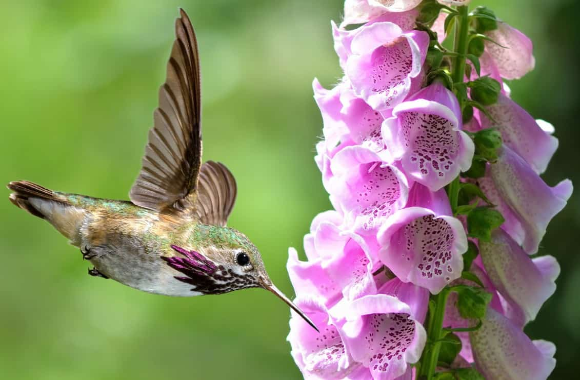 The tubular blooms of the foxglove are a hummingbird magnet.