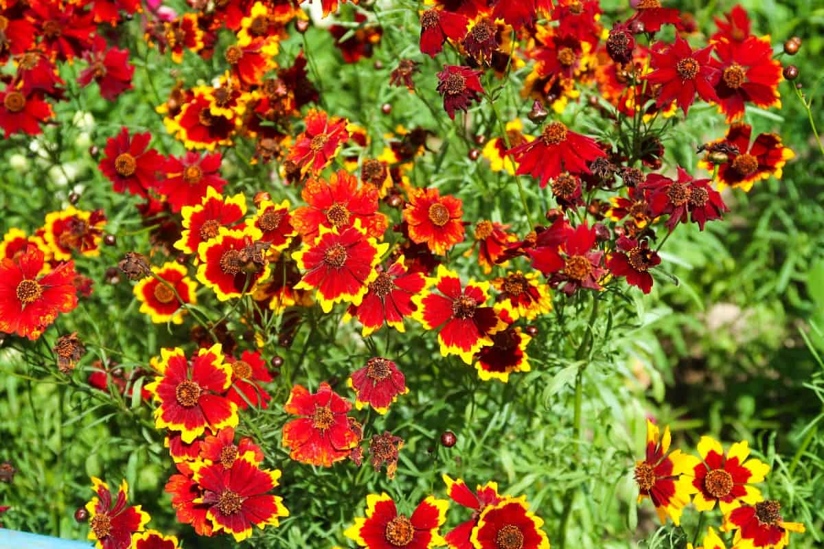 Grow garden calliopsis flowers from seed for best results.